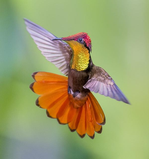 Parang Time. Ruby Topaz Hummingbird dancing in the air, Trinidad.