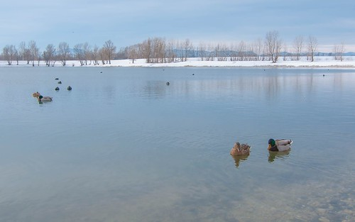 ducks vladoferencic lakes vladimirferencic animals animalplanet birds lakezajarki zajarki zaprešić croatia nikond90 tokina12244