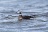 Female Long-tailed duck at Vik S24A7328 by grebberg