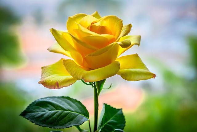 Rose CA