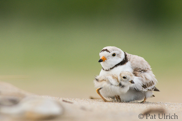 Piping plover with chick, a 2017 favorite