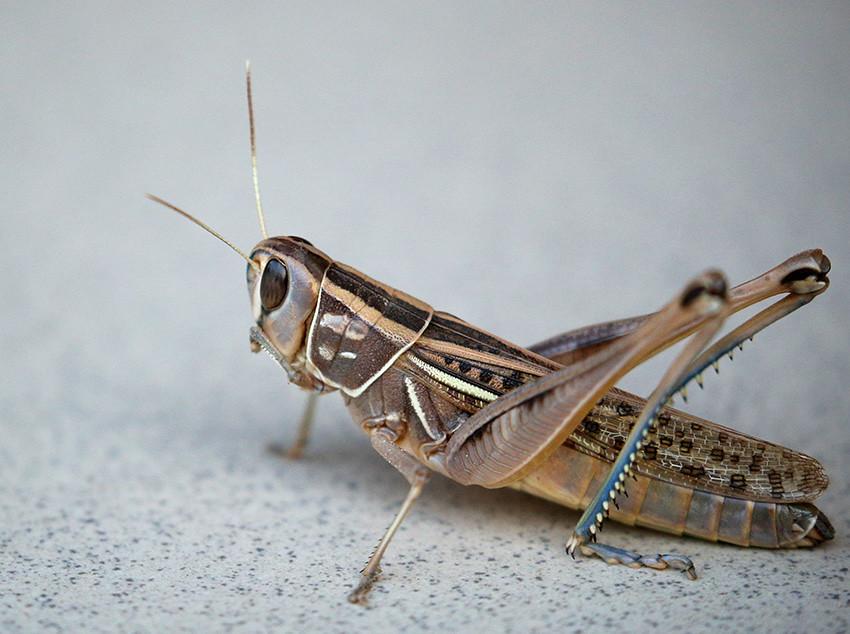 Image result for locust close up