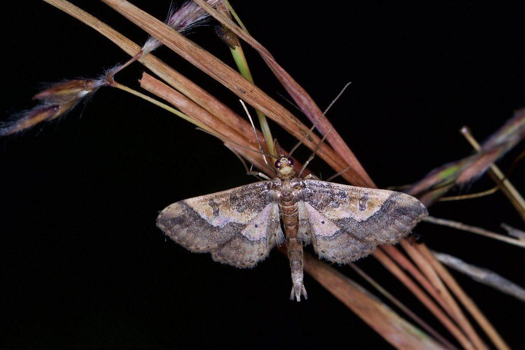 Crambidae, Hydriris ornatalis