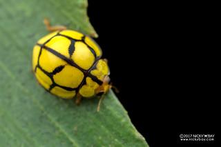 Ladybird beetle (Heteroneda reticulata) - DSC_2701