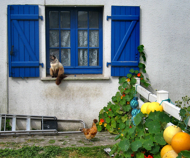 Île d'Ouessant: The cat and the chicken