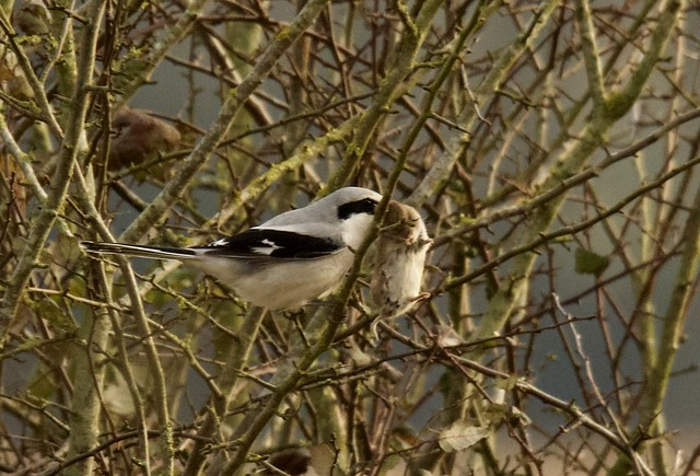 Dinner sorted. Record shot of Great Grey Shrike with prey. ( Lanius excubitor)  (1of2)