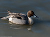 Northern Pintail by Ramona H