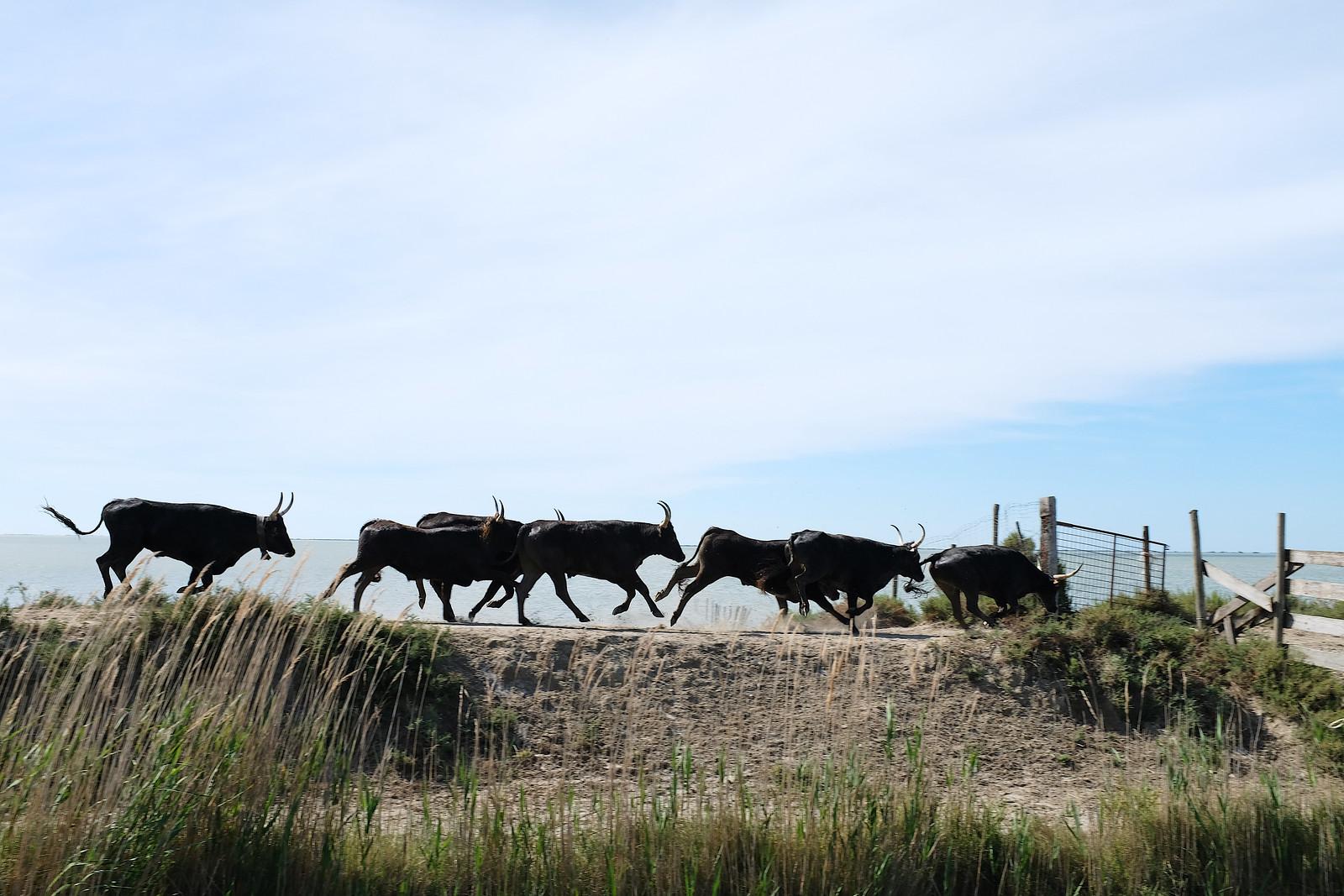 Black bulls run through a gate