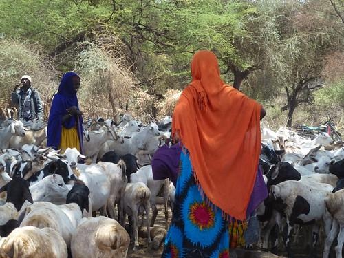 Boran women with sheep and goats at a traditional deep well water source, Garba Tulla, Isiolo, Kenya (photo credit: ILRI/Fiona Flintan).