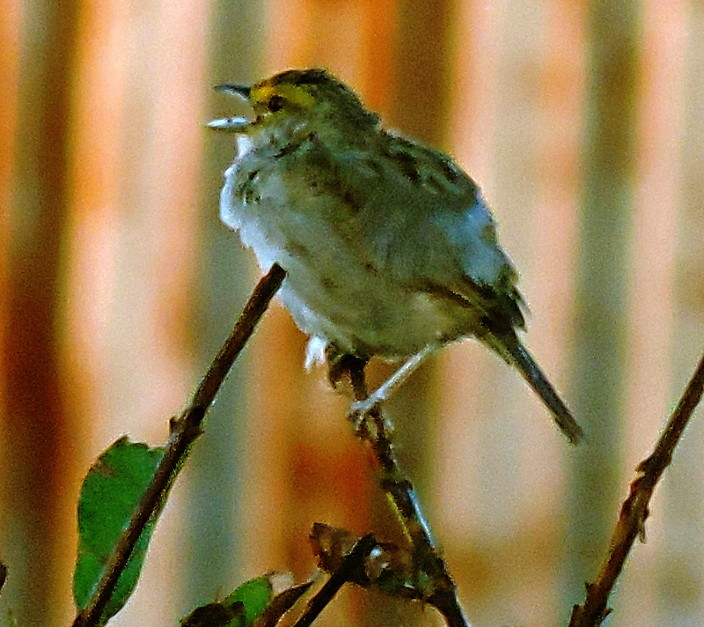 Yellow-browed Sparrow, Ammodramus aurifrons