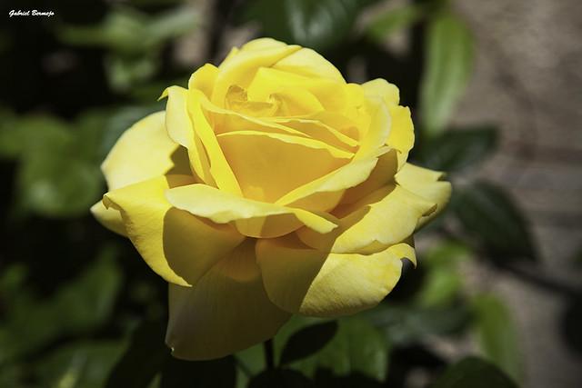 Rosa Amarilla - Granada