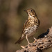 Song Thrush - Photo (c) Ximo Galarza, some rights reserved (CC BY-NC-SA)