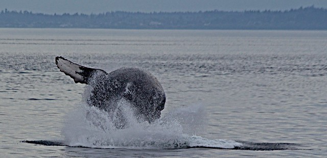 Humpback Whale On The Move!