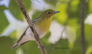 Yellow-throated Vireo (Vireo flavifrons) | by Gmo_CR