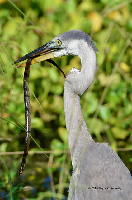 Great Blue Heron with snake at NLAWD