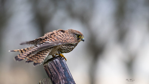 Kestrel | by ronwestbroek2