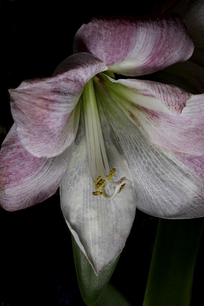 Some Kind Of Lily I Photographed This Flower On Mother S D Flickr