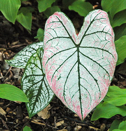 Caladium bicolor or Caladium x hortulanum (fancy-leaved caladium) 3 | by James St. John