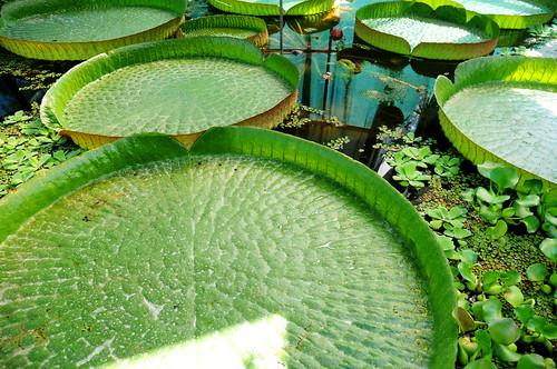 Victoria water-lilies Zagreb [Victoria Seerosen]   by 114RC3L