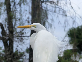 Great Egret at Gatorland | by Lee_D