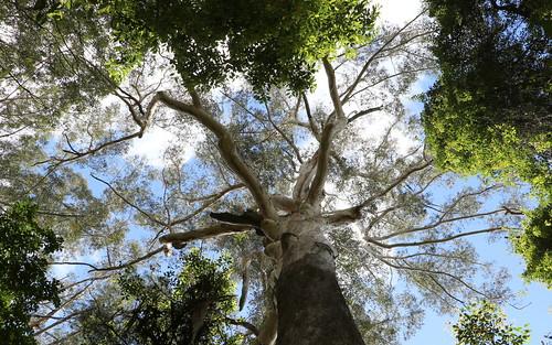 blackbutt eucalyptus eucalyptuspilularis myrtaceae middlebrothermountain benaroon kendall portmacquarie gianttree tree sky landscape