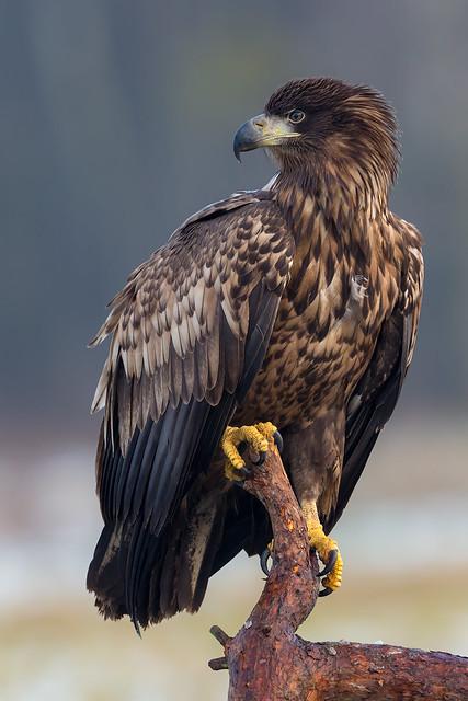 White-tailed Eagle - Poland