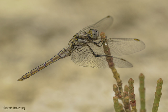 Orthetrum brunneum. Young Male