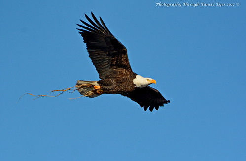 Bald Eagles (Haliaeetus leucocephalus) | by Photography Through Tania's Eyes