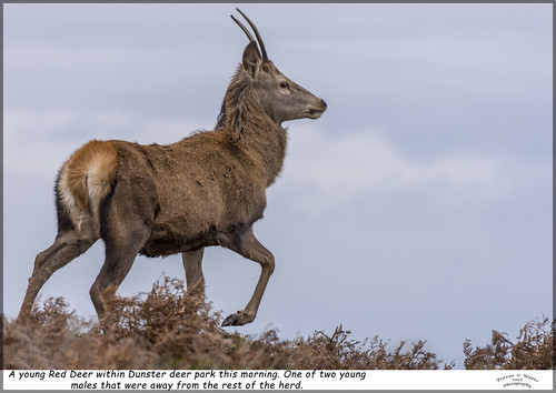deer wildlife nature natural mammal reddeer somerset dunster gb uk england thesouthwest southwestengland moorland exmoor nikon christmasday december 2017