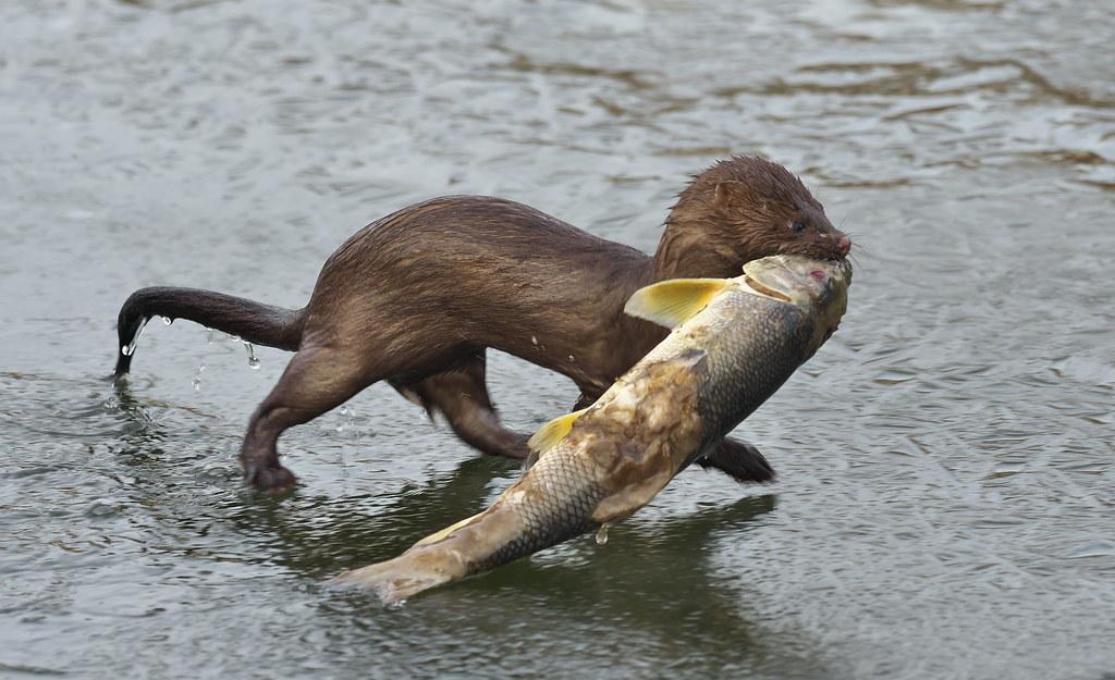 Fish for breakfast! | This mink (Neovsion vison) has just ca… | Flickr