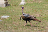 Wild Turkey (Meleagris gallopavo) by Mark Carmody
