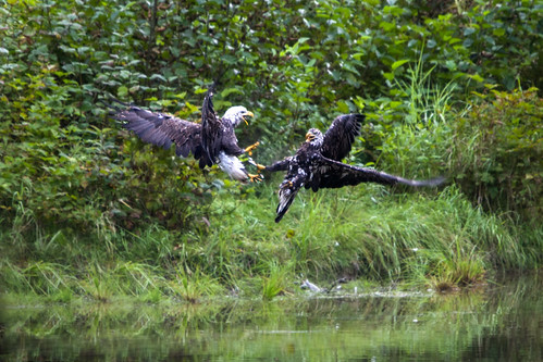 Bald Eagles Fighting | by Dawn T