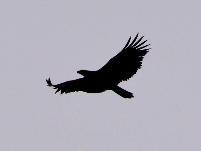 EITHER A YOUNG BALD HEADED EAGLE OR A GOLDEN EAGLE IN FLIGHT.  SOUTH VANDOUVER ISLAND,  BC.