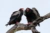 Terathopius ecaudatus ♂ ♀ (Bateleur Eagle) - South Africa. by Nick Dean1