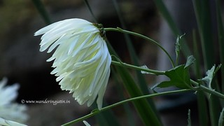 Himalayan Flora | by wanderingjatin