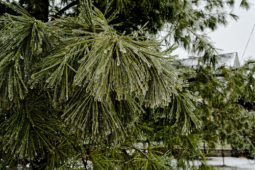 Ice on the Pine | by joeldinda