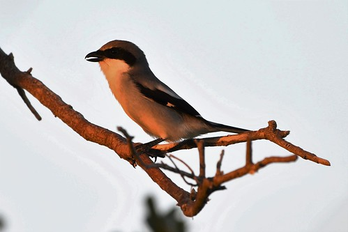 shrike loggerhead nature beauty aves pajaro northgradeelementary ericaray birder birding audubon education florida softlight sunset dwalbum