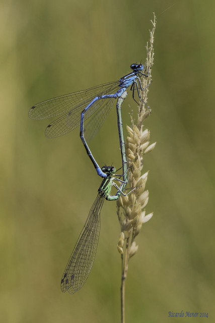 Coenagrion puella. (Linnaeus, 1758) Mating.