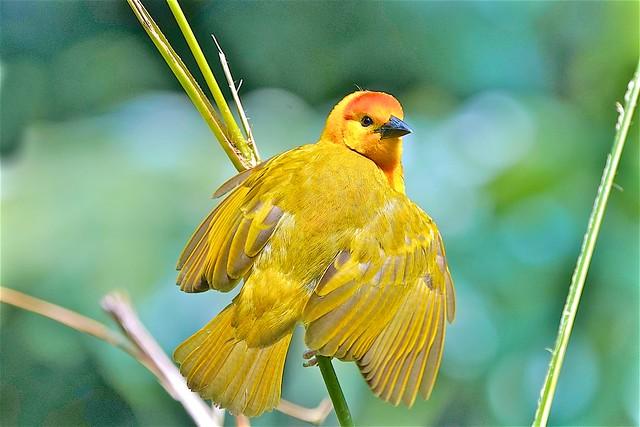 Golden Weaver