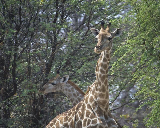 Southern Giraffe...