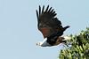 Haliaeetus vocifer (African Fish Eagle) - South Africa by Nick Dean1