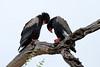 Terathopius ecaudatus ♂ ♀ (Bateleur Eagle) - South Africa by Nick Dean1