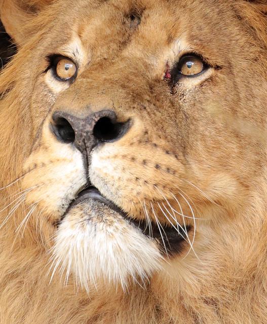 african lion Caesar Artis BB2A3327