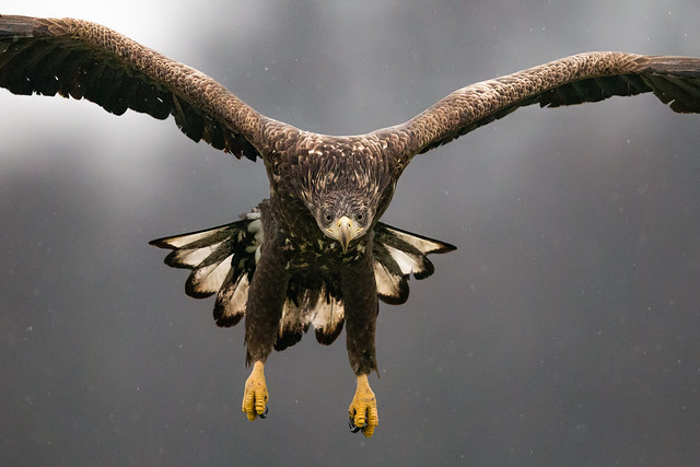 White-tailed Eagle - Poland