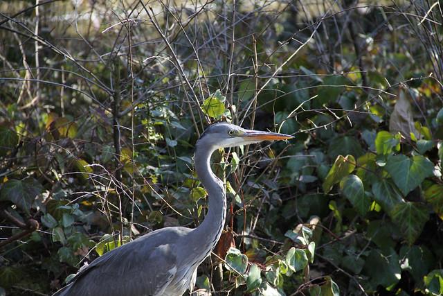 Heron - Walpole Park