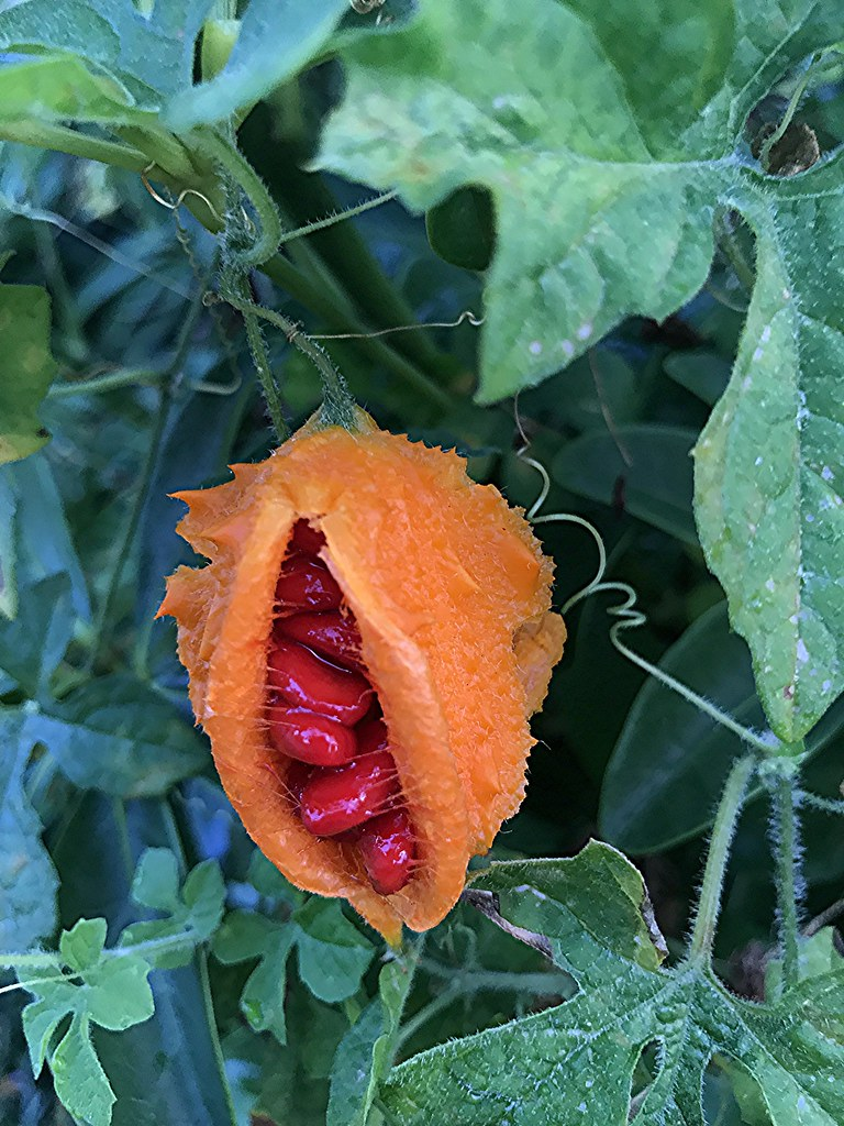 Spiny Orange Pod With Sticky Red Seeds A Curious