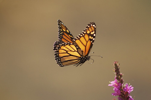 Monarch & Loosestrife | by 9brandon
