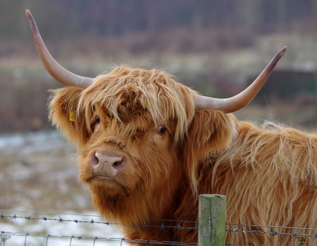 sheffield highland cattle in snow 2017 (7)