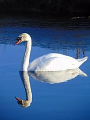 Swan near Lower Broomfield in the Lune Valley