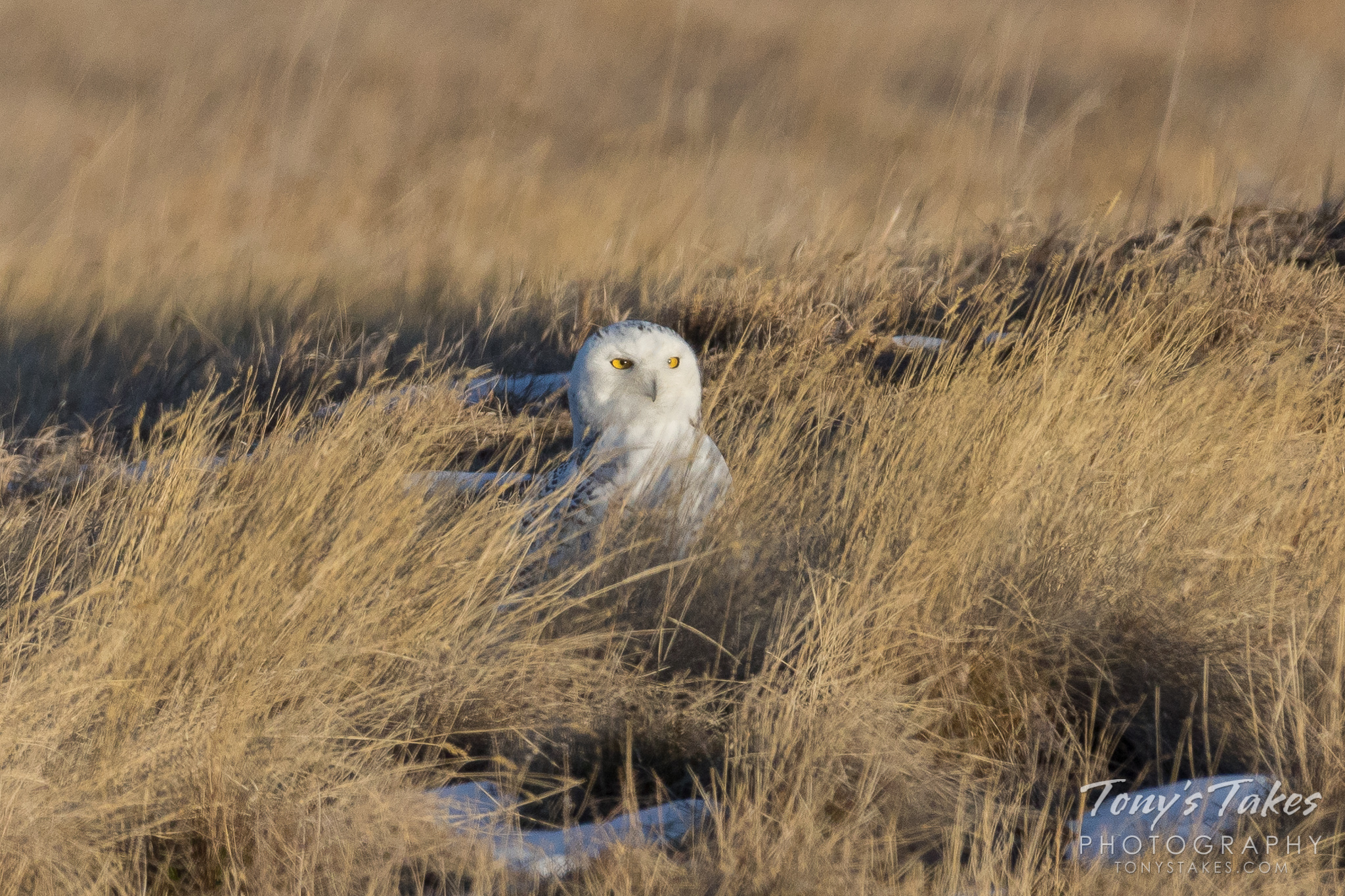 Rare Snowy Owl pays a visit to suburbs of Denver